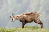 Chamois (Rupicapra rupicapra) snorting on the meadow of Hohneck in spring, Alsace, France