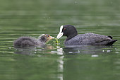 Eurasian coot (Fulica atra) and young eating on water, Italy