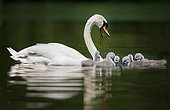 Mute swan (Cygnus olor) female and young on water, Italy