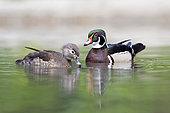 Carolins ducks (Aix sponsa) couple on the water