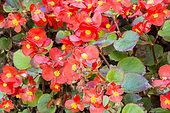 Begonia semperflorens 'Ambassador Scarlet'