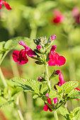 Salvia microphylla 'Wendy's Surprise'