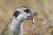 Meerkat (Suricata suricatta), adult male, feeding on a gecko, alert, Kgalagadi Transfrontier Park, Northern Cape, South Africa, Africa