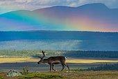Reindeer (Rangifer tarandus) in the countryside with rainbow, Dalarna, Sweden, Europe