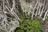 Formation of myrtaceae : Swamp paperbark (Melaleuca ericifolia) in a wetland, Narawntapu National Park, Tasmania, Australia