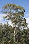 Eucalyptus in the Latrobe Forest Reserve, Tasmania, Australia