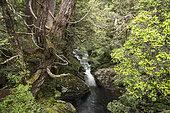 Pencil Pine (Athrotaxis cupressoides) and river, Enchanted walk. Cradle Mountain National Park - St Clair Lake, Tasmania, Australia