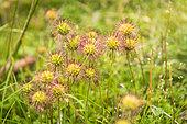 Buzzy Burr (Acaena magellanica) flowers, Cradle Mountain National Park - St Clair Lake, Tasmania, Australia