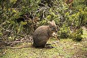 Tasmanian pademelon (Thylogale billardierii) eating a leaf, Cradle Mountain National Park - St Clair Lake, Tasmania, Australia