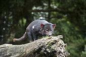 Tasmanian Devil (Sarcophilus harrisii) on a branch, Cradle Mountain National Park - St Clair Lake, Tasmania, Australia