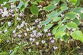 Cyclamen hederifolium 'Perlenteppich'