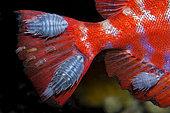 Isopode (Cymothoidae sp) sur Beauclaire de roche (Heteropriacanthus cruentatus). Tenerife, Canaries