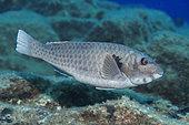 Parrotfish (Sparisoma cretense) male. Fish of the Canary Islands, Tenerife.