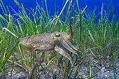 Cuttlefish (Sepia officinalis) hunting in a sea meadow (Cymodosea nodosa). Marine invertebrates of the Canary Islands, Tenerife.