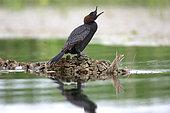 Pygmy Cormorant (Microcarbo pygmeus) shouting, Danube Delta, Romania