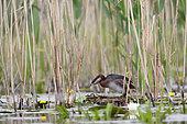 Eurasian Grebe (Podiceps grisegena) at nest, Danube Delta, Romania