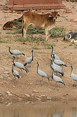 Demoiselle Crane (Anthropoides virgo)and cow near a temple, Keechan, Rajasthan, India