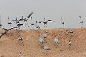 Demoiselle Crane (Anthropoides virgo) landing atop a dune Keechan, Rajasthan, India
