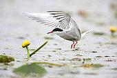 Common Tern (Sterna hirundo) taking off, Danube Delta, Romania