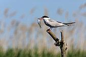 Common Tern (Sterna hirundo) with a fish in the beak, Danube Delta, Romania