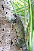 Common iguana (Iguana iguana) on a coconut trunk, Club Med beach, Saint Anne, Guadeloupe