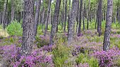 Maritime pines of Landes and heather, Landes forest, France