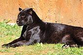 Jaguar (Panthera onca) melanic