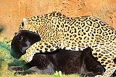 Jaguar (Panthera onca) mating