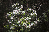 Woolly tea-tree (Leptospermum lanigerum) flowers, Cradle Mountain National Park - St Clair Lake, Tasmania, Australia