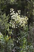 Guitar plant (Lomatia tinctoria) in bloom, Cradle Mountain National Park - St Clair Lake, Tasmania, Australia