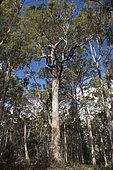 Mountain ash (Eucalyptus regnans), Mount Field National Park, Tasmania, Australia