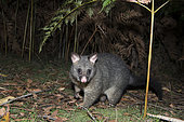 Common brushtail possum (Trichosurus vulpecula), Mount Field National Park, Tasmania, Australia