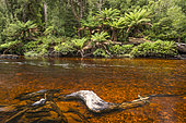 River water colored by the tannin of decaying vegetation, Mount Field National Park, Tasmania, Australia