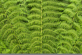 Tree Fern Leaf, Mount Field National Park, Tasmania, Australia