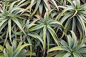 Krantz Aloe (Aloe arborescens), Tasmania, Australia