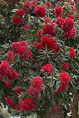 Red Flowering Gum (Corymbia ficifolia) blossom in a garden, Tasmania, Australia