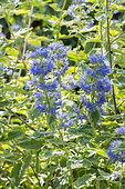 Caryopteris clandonensis 'Summer Sorbet'