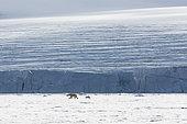 Ours polaire (Ursus maritimus) femelle adulte et son ourson de sept mois sur la banquise, Spitzberg, Svalbard.