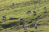 Svalbard reindeers (Rangifer tarandus platyrhynchus) in tundra, Spitsbergen