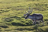 Svalbard reindeer (Rangifer tarandus platyrhynchus) in tundra, Spitsbergen