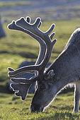 Svalbard reindeer (Rangifer tarandus platyrhynchus) grazing, Spitsbergen