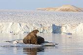 Walrus (Odobenus rosmarus) on a piece of ice, Etonbreen, Wahlenbergfjord, Nordaustlandet, Spitzberg, Svalbard.
