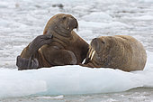 Walrus (Odobenus rosmarus) on a piece of ice, wahlenbergfjord, Nordaustlandet, Spitzberg, Svalbard.