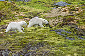 Ours polaire (Ursus maritimus) oursons marchant dans la toundra, Spitzberg, Svalbard.
