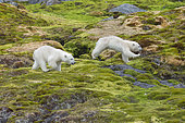 Ours polaire (Ursus maritimus) oursons courant dans la toundra, Spitzberg, Svalbard.