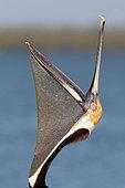 Pélican brun (Pelecanus occidentalis) bec ouvert, Floride