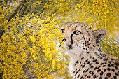 Cheetah (Acinonyx jubatus) adult in blooming flowers, Castile-La Mancha, Spain