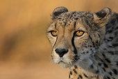 Cheetah (Acinonyx jubatus) adult portrait, Castile-La Mancha, Spain