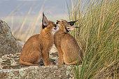 Caracal (Caracal caracal), deux jeunes se câlinant, Espagne