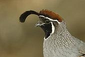 Gambel's Quail (Callipepla gambelii) male, Arizona, USA